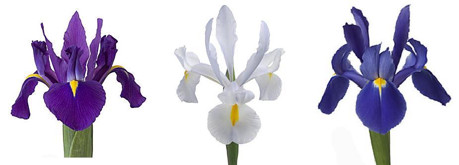 chung cư iris garden hoa diên vĩ