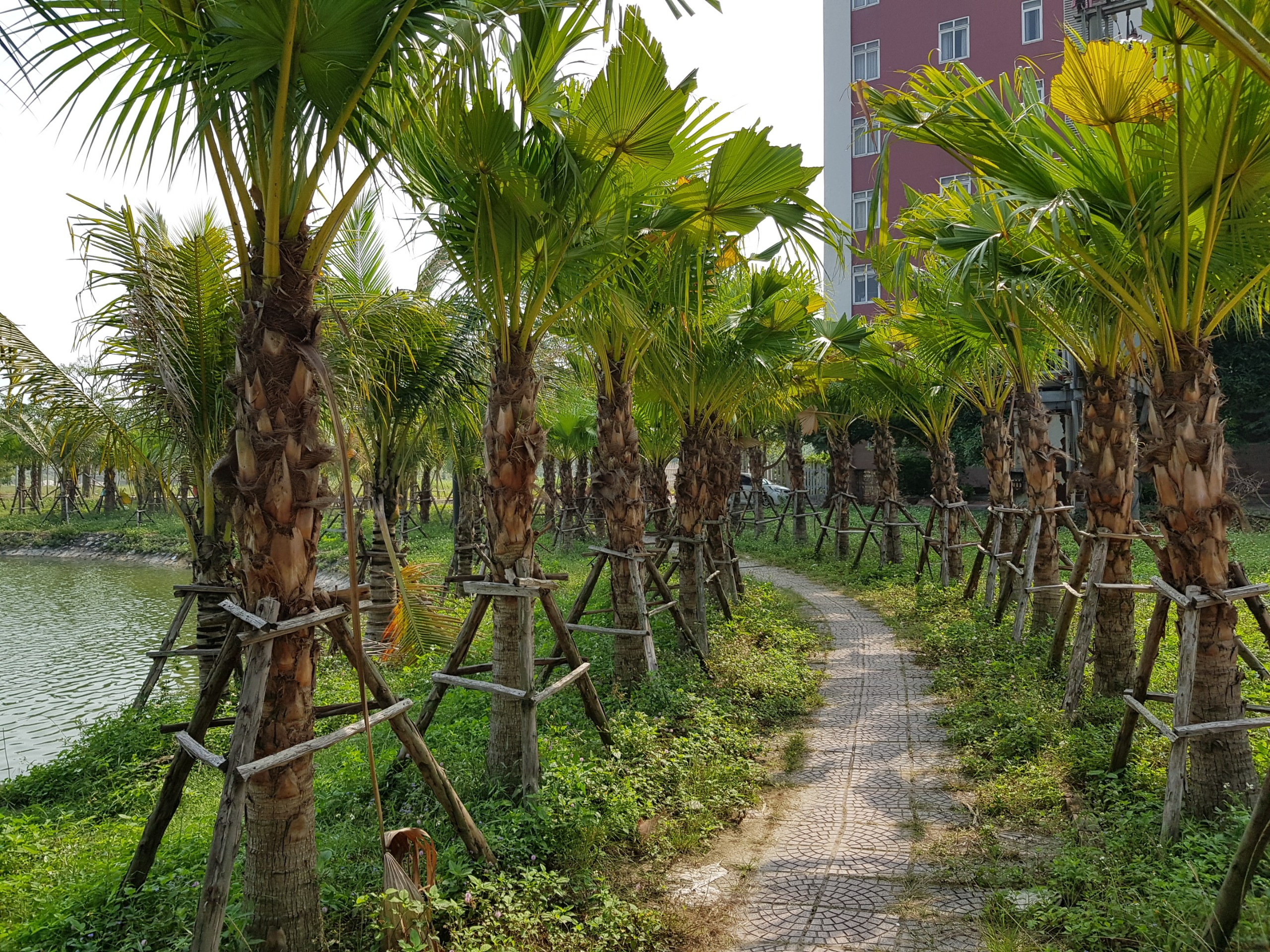 Rừng Cọ - Palm City quanh hồ điều hòa Chí Linh Palm City